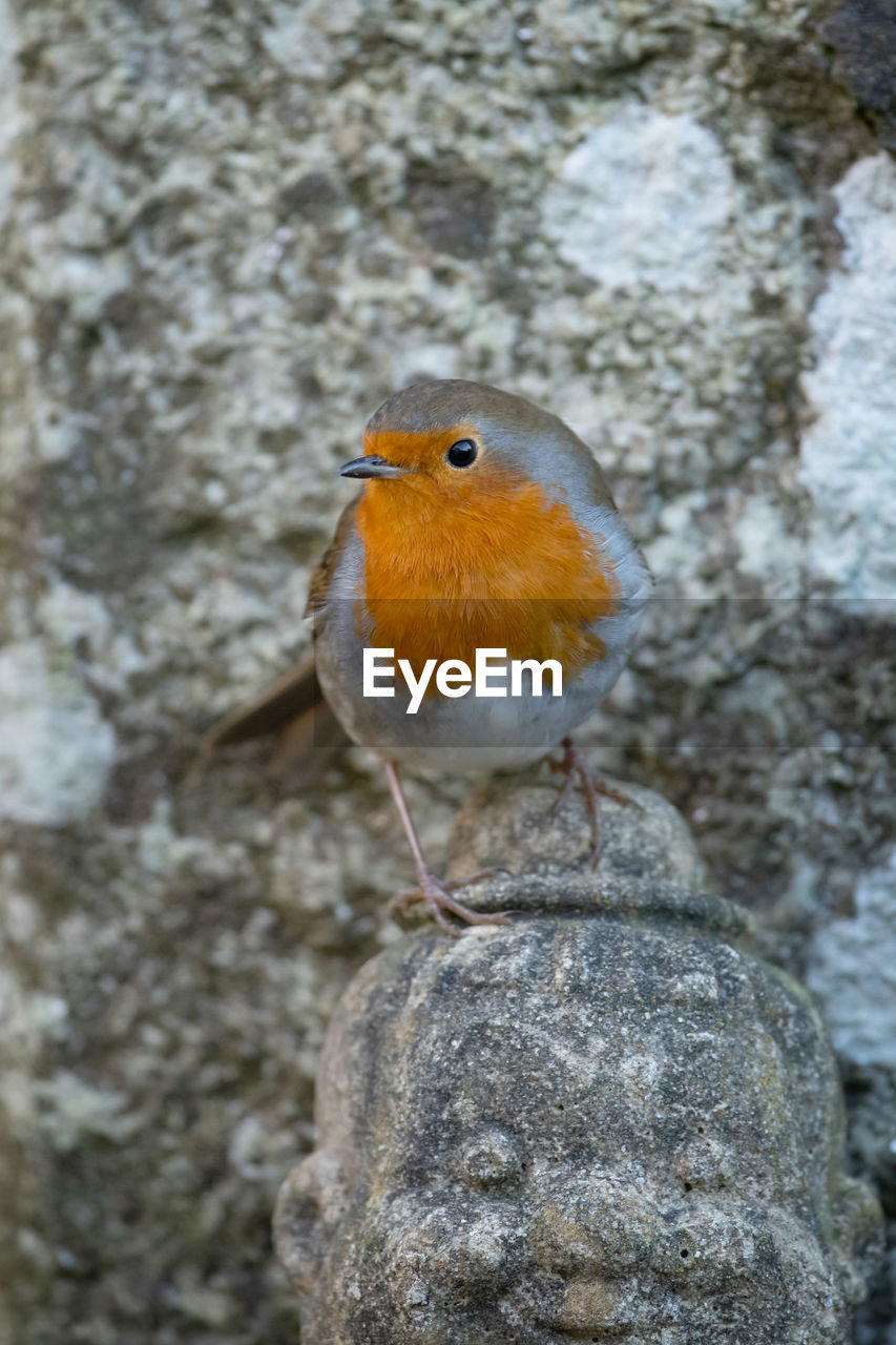 animal themes, animal, one animal, vertebrate, bird, animals in the wild, animal wildlife, robin, perching, solid, rock, rock - object, day, close-up, no people, focus on foreground, nature, outdoors, orange color, zoology, concrete
