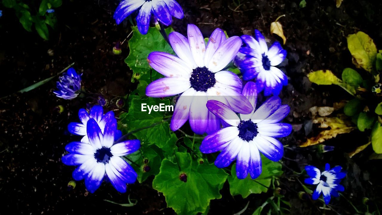 flower, petal, purple, beauty in nature, fragility, nature, flower head, freshness, growth, plant, blooming, high angle view, no people, outdoors, day, pansy, osteospermum, close-up, petunia
