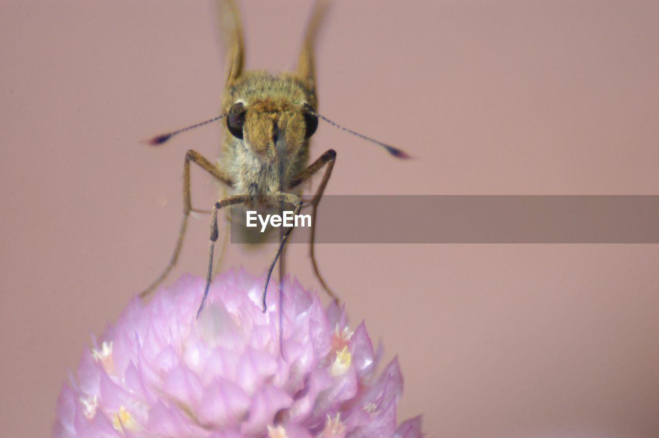 flower, insect, close-up, one animal, studio shot, purple, nature, animal themes, no people, animals in the wild, beauty in nature, fragility, flower head, day, white background, outdoors, freshness