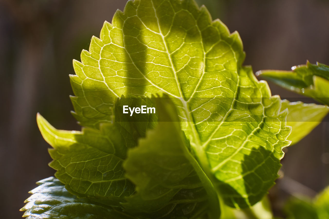 leaf, plant part, green color, close-up, leaf vein, plant, beauty in nature, nature, growth, freshness, no people, selective focus, day, focus on foreground, outdoors, leaves, food, natural pattern, food and drink, wellbeing