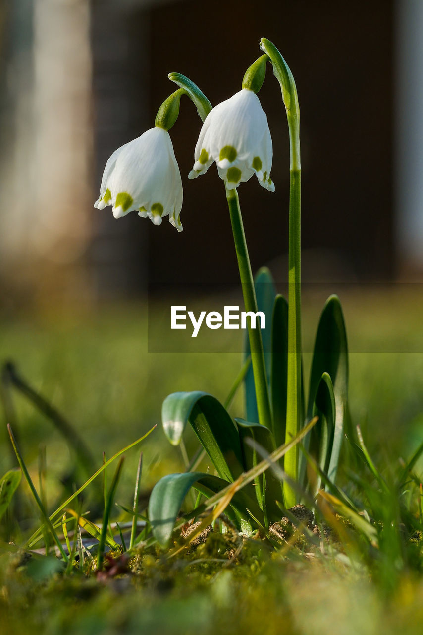 flower, growth, beauty in nature, nature, plant, fragility, green color, flower head, snowdrop, petal, day, grass, freshness, no people, outdoors, close-up