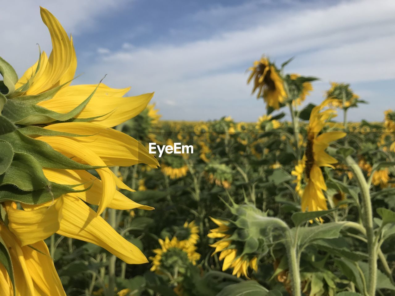 yellow, plant, flower, growth, flowering plant, beauty in nature, freshness, vulnerability, petal, fragility, flower head, nature, inflorescence, sky, sunflower, close-up, no people, day, land, focus on foreground, outdoors, sepal