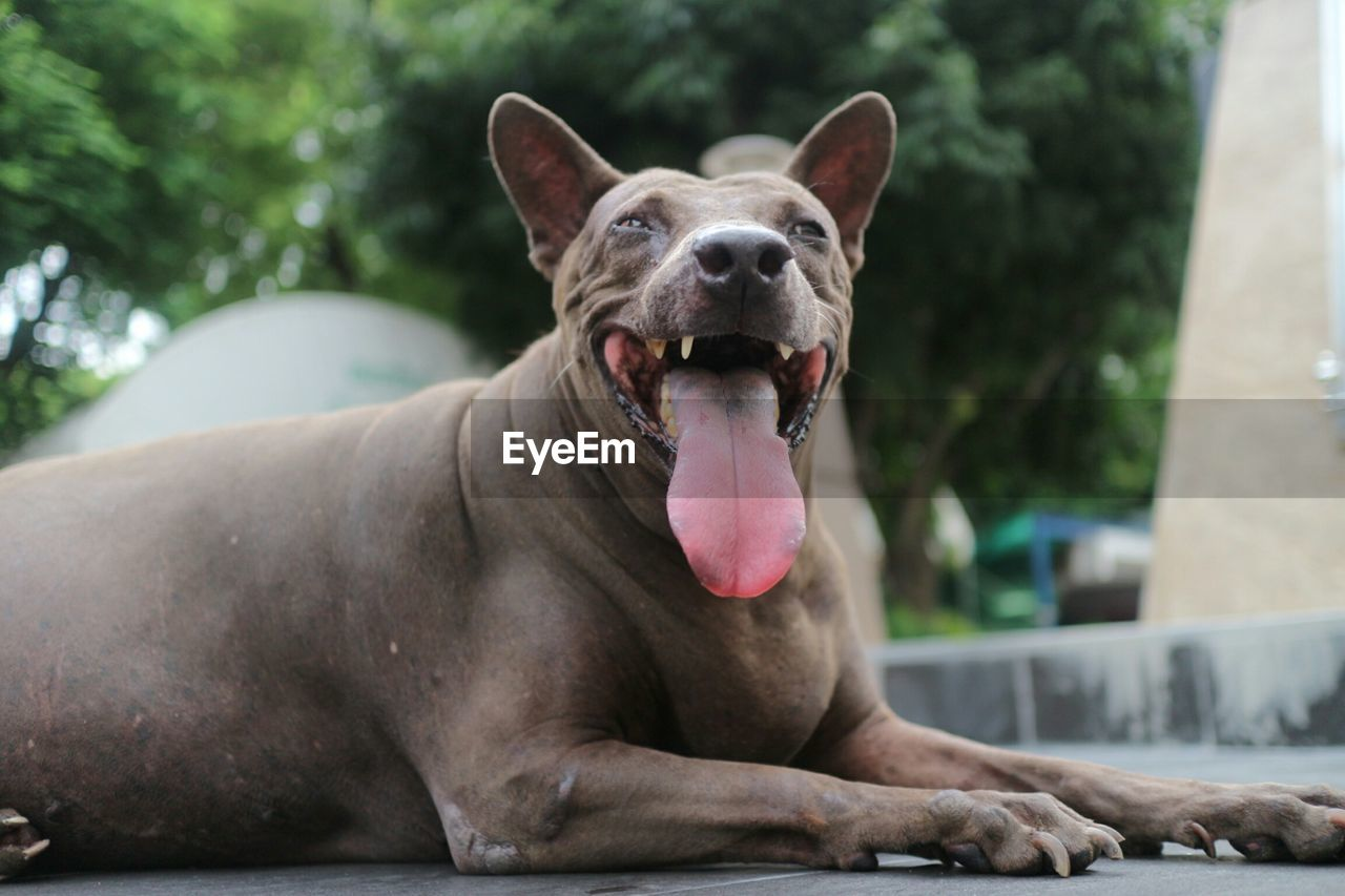 one animal, animal themes, animal, mammal, dog, canine, domestic animals, facial expression, pets, vertebrate, domestic, mouth open, mouth, yawning, focus on foreground, sticking out tongue, close-up, animal tongue, day, no people, panting, animal mouth, animal head