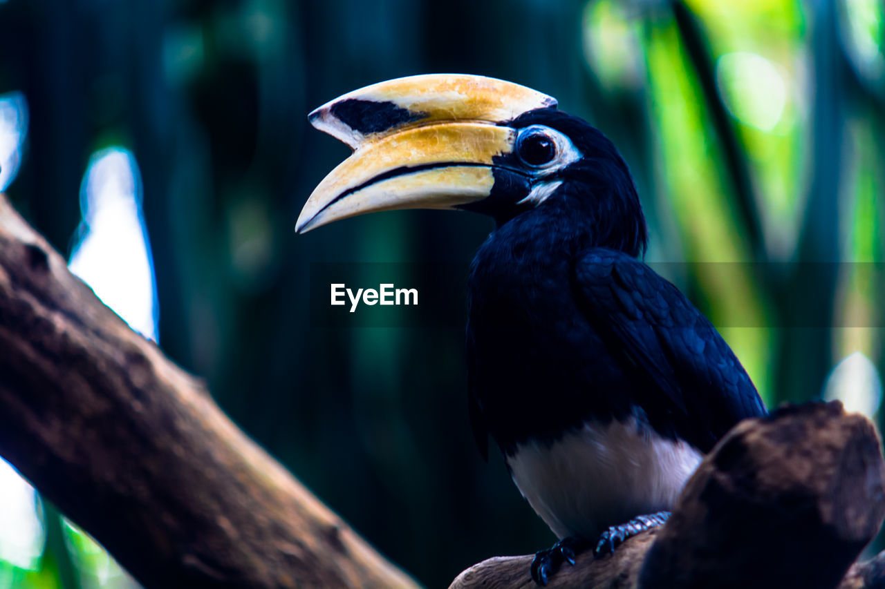 Close-up side view of hornbill against blurred background