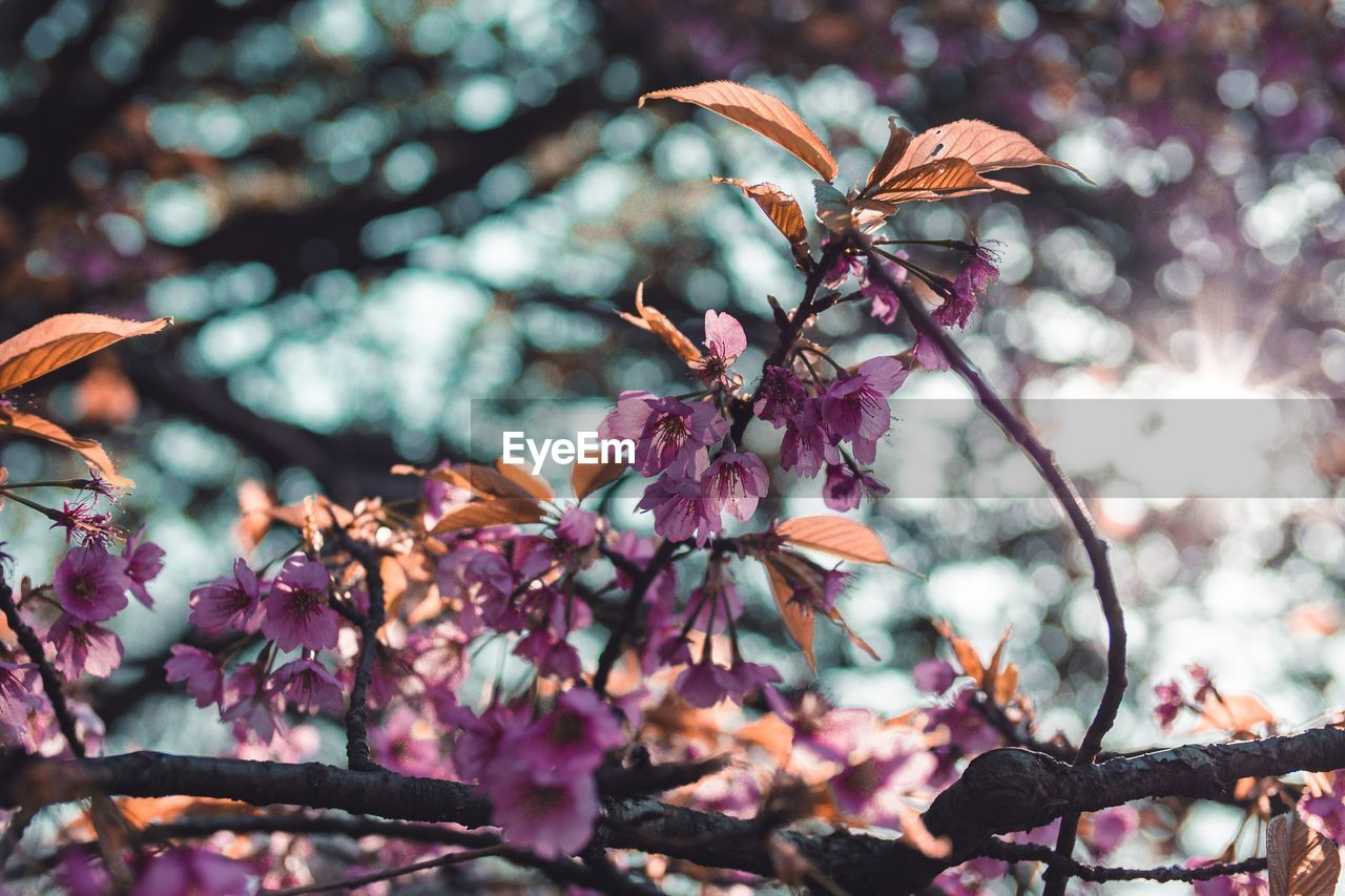 plant, flowering plant, beauty in nature, growth, flower, fragility, freshness, close-up, focus on foreground, vulnerability, branch, nature, tree, day, pink color, selective focus, petal, no people, low angle view, springtime, outdoors, flower head, cherry blossom