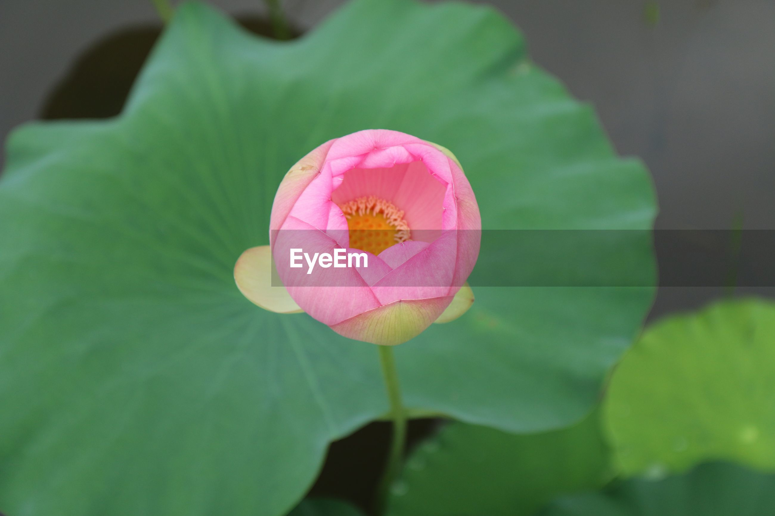 CLOSE-UP OF LOTUS BLOOMING OUTDOORS