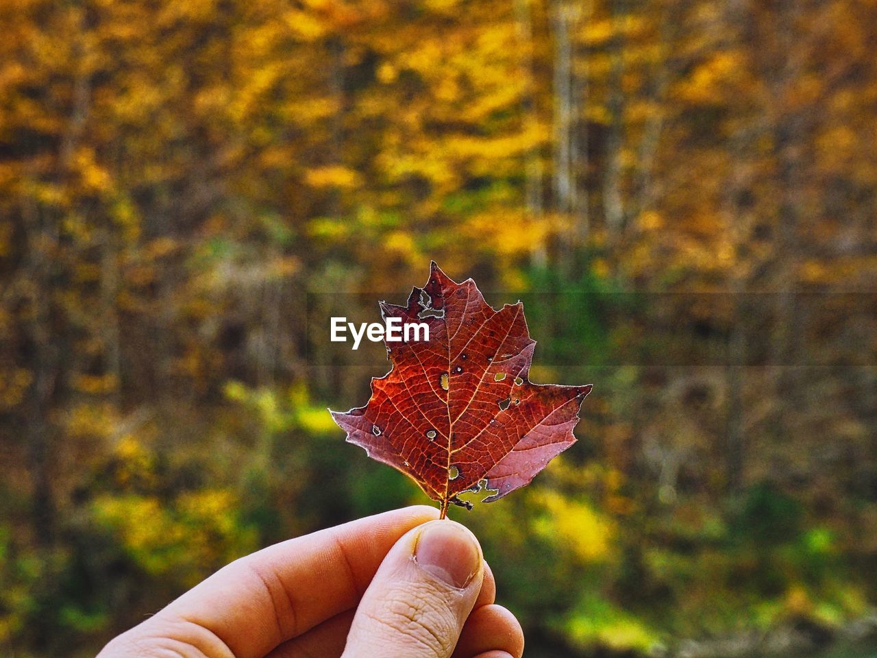 human hand, hand, human body part, autumn, leaf, plant part, one person, real people, holding, finger, change, human finger, unrecognizable person, focus on foreground, body part, lifestyles, close-up, nature, personal perspective, day, maple leaf, outdoors, autumn collection, leaves, natural condition, fall, human limb