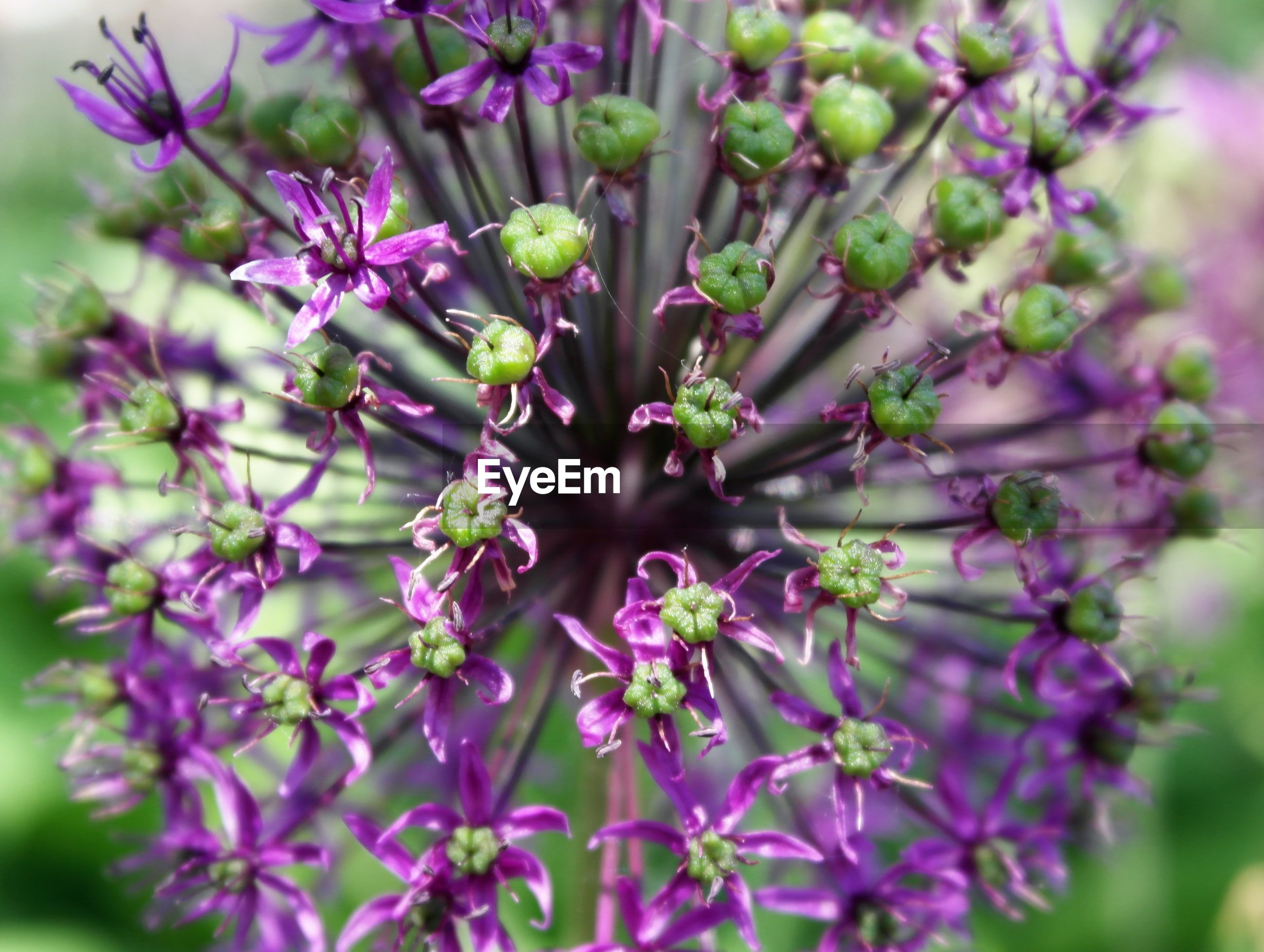 CLOSE-UP OF PURPLE FLOWERS GROWING OUTDOORS