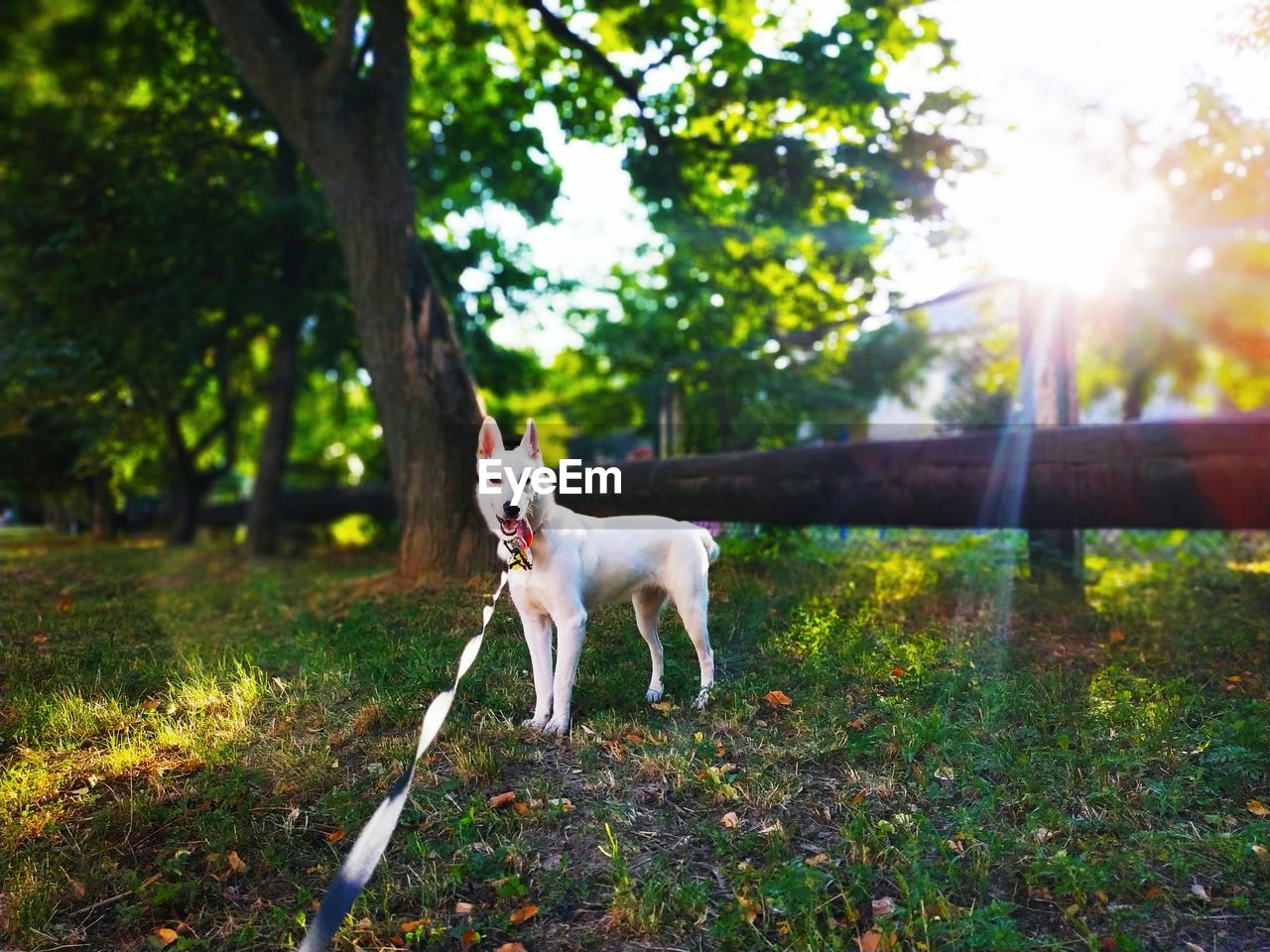 domestic, one animal, pets, mammal, canine, dog, domestic animals, animal themes, animal, tree, plant, vertebrate, nature, land, sunlight, no people, field, leash, day, pet leash, lens flare, mouth open