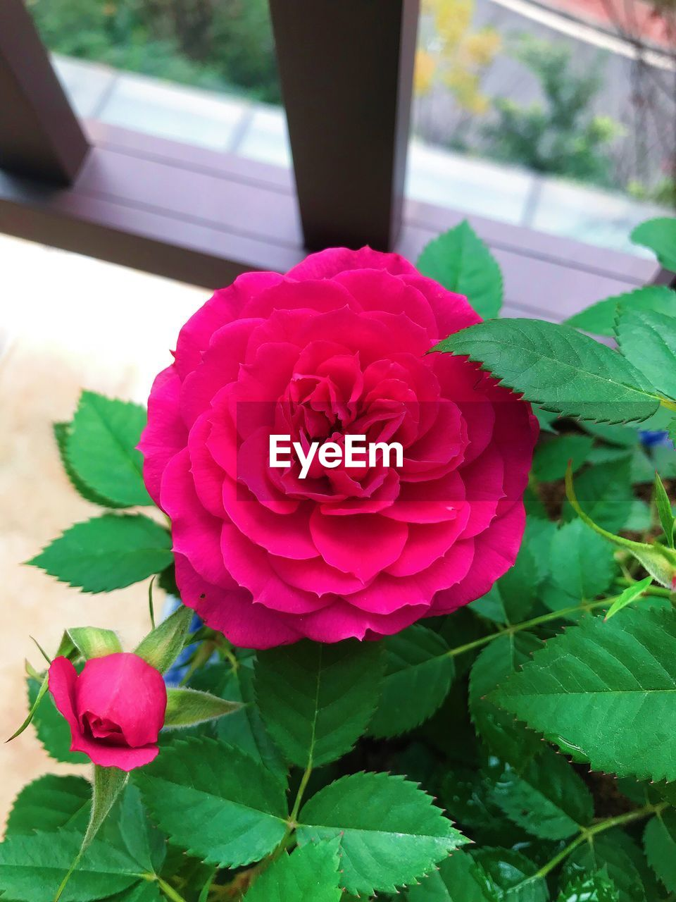 flower, petal, leaf, fragility, nature, growth, plant, beauty in nature, flower head, pink color, freshness, rose - flower, no people, close-up, day, blooming, outdoors