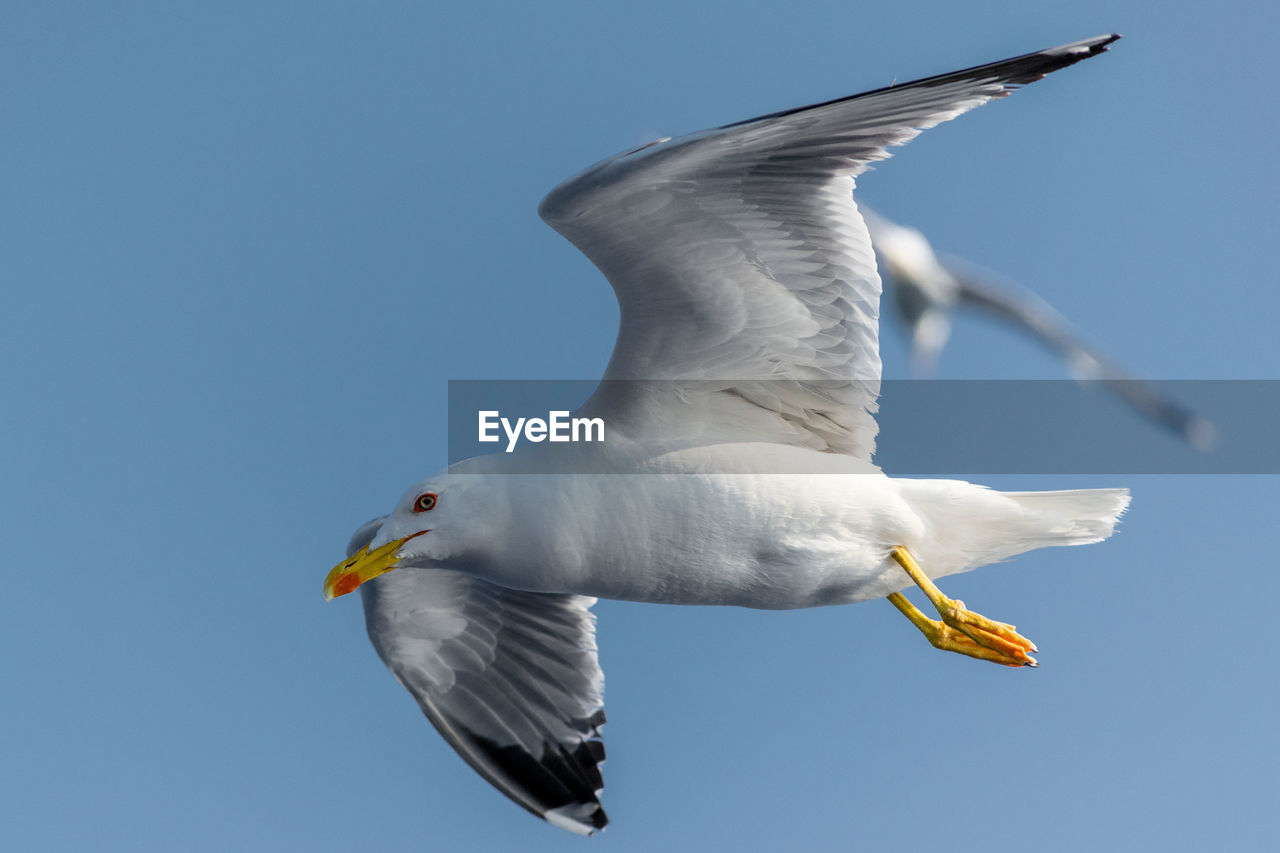 bird, animal wildlife, animal themes, animals in the wild, animal, vertebrate, flying, spread wings, sky, one animal, seagull, clear sky, white color, mid-air, low angle view, no people, nature, motion, day, animals hunting, outdoors, beak
