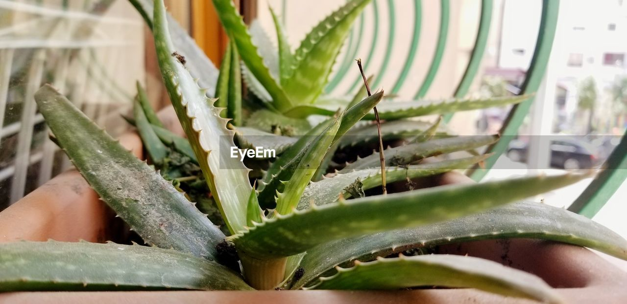 green color, growth, plant, close-up, potted plant, plant part, leaf, succulent plant, nature, aloe vera plant, aloe, no people, indoors, day, selective focus, beauty in nature, cactus, focus on foreground, thorn, houseplant