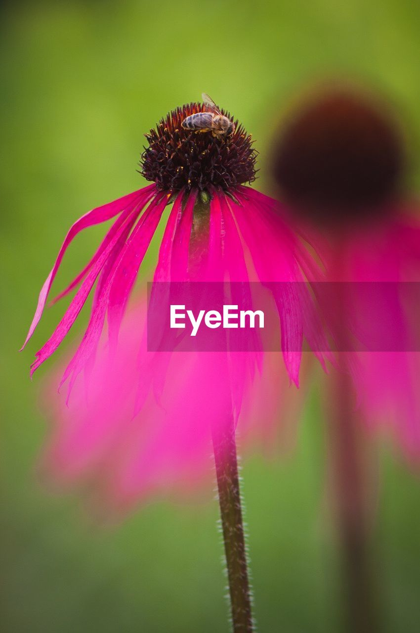 flower, fragility, growth, nature, no people, focus on foreground, beauty in nature, day, freshness, close-up, coneflower, plant, outdoors, eastern purple coneflower, flower head