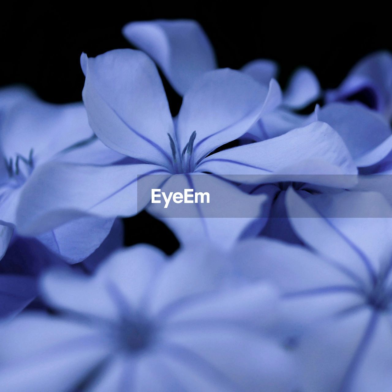 petal, flower, beauty in nature, white color, fragility, close-up, no people, nature, blue, flower head, freshness, purple, growth, blooming, indoors, day, periwinkle
