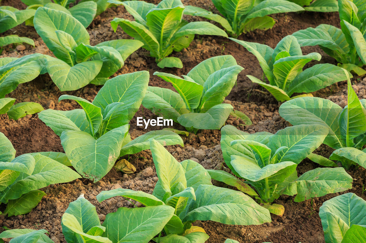 growth, leaf, plant part, plant, green color, field, nature, agriculture, land, beauty in nature, no people, crop, farm, day, vegetable, dirt, landscape, freshness, food and drink, food, gardening, outdoors, planting, plantation