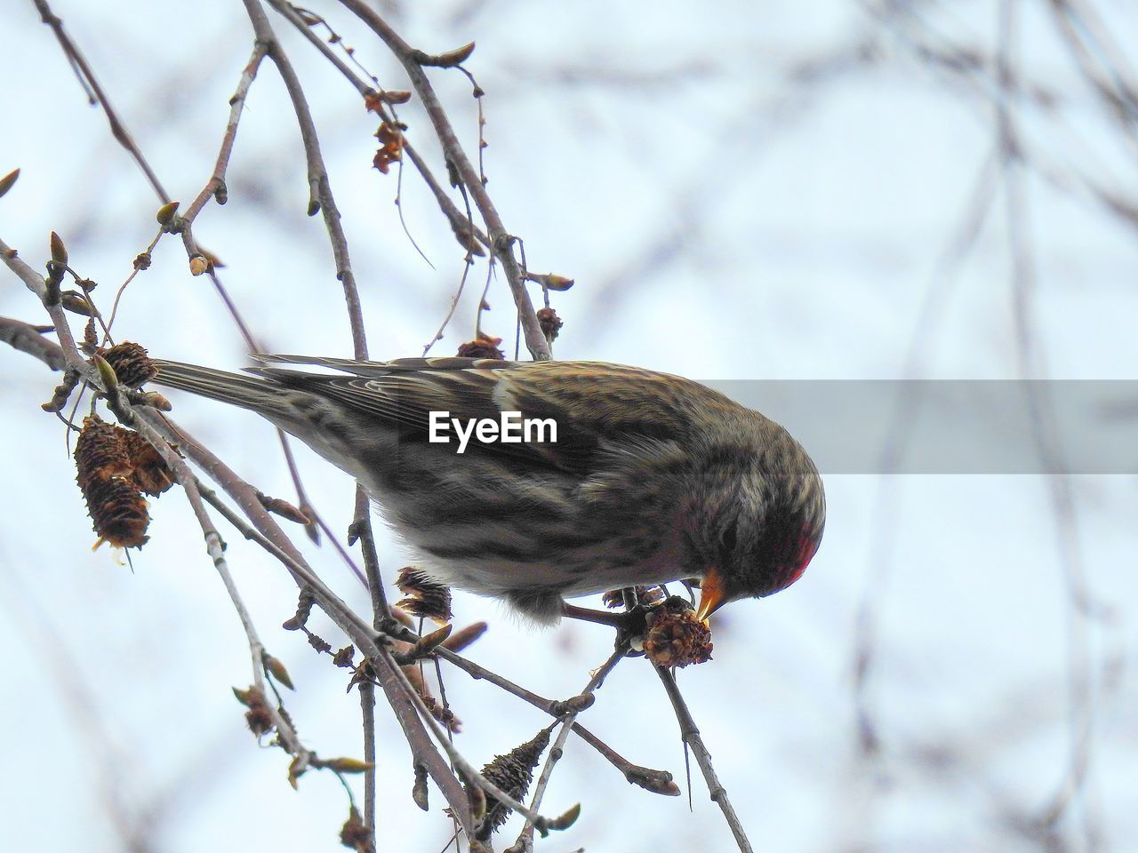 one animal, bird, focus on foreground, branch, animal themes, animal wildlife, nature, animals in the wild, perching, day, no people, outdoors, sparrow, close-up, winter, full length, tree, beauty in nature