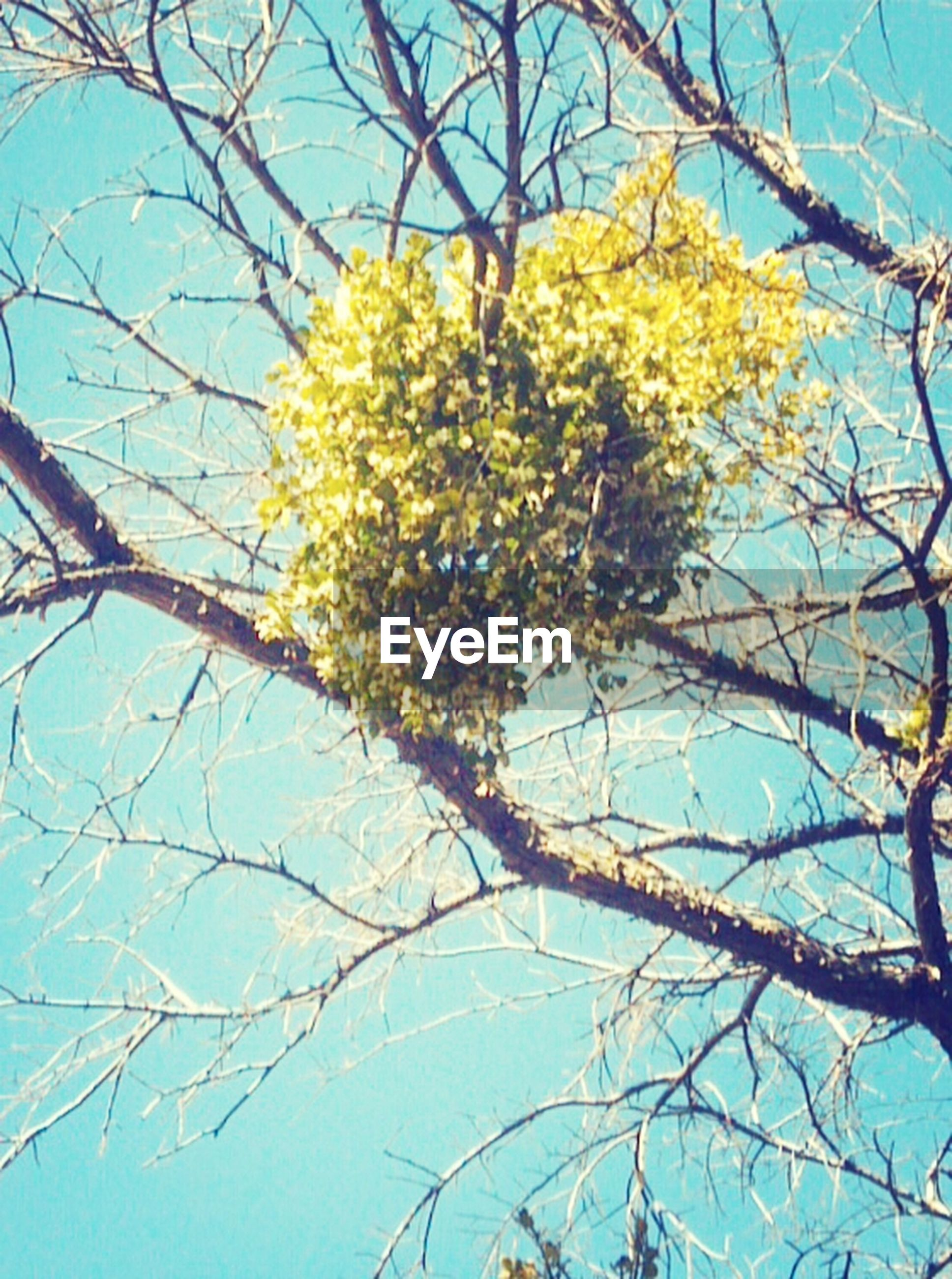 branch, low angle view, tree, clear sky, growth, blue, yellow, nature, beauty in nature, tranquility, sky, day, no people, outdoors, leaf, sunlight, bare tree, flower, twig, scenics