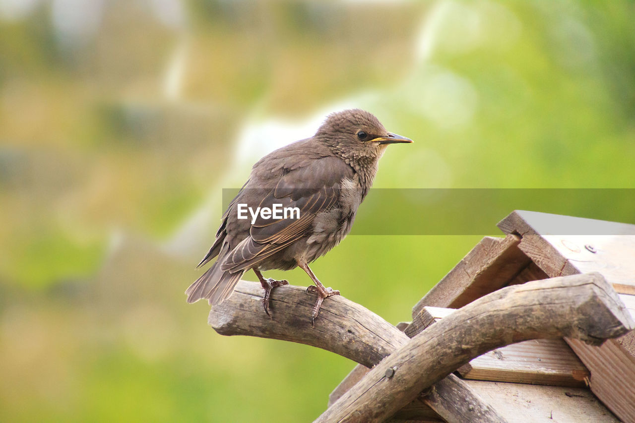 animal wildlife, animals in the wild, bird, animal, animal themes, vertebrate, perching, one animal, focus on foreground, day, no people, wood - material, tree, nature, outdoors, full length, branch, close-up, plant, zoology