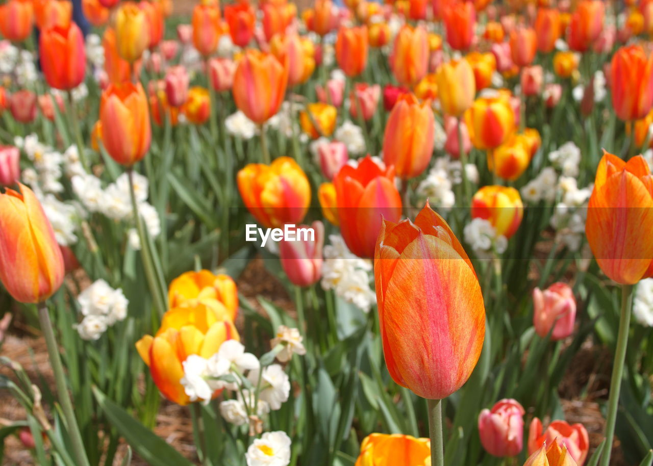 flower, growth, beauty in nature, orange color, nature, petal, freshness, fragility, plant, blooming, tulip, flower head, field, no people, outdoors, poppy, flowerbed, day, close-up