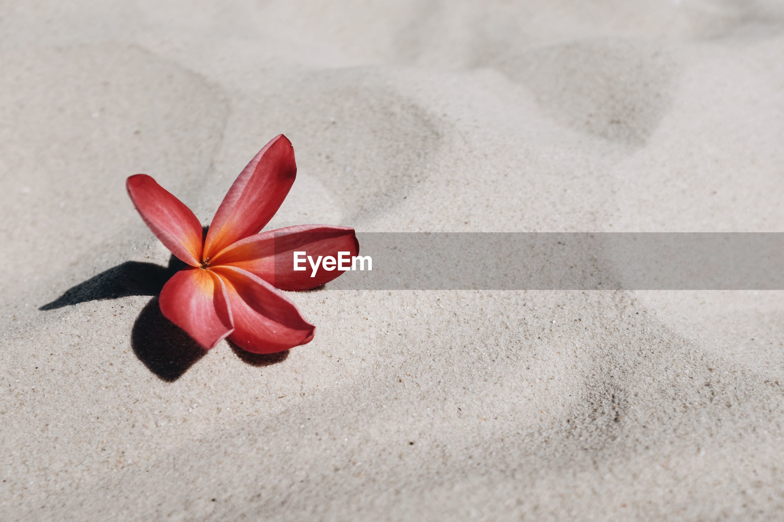 CLOSE-UP OF RED FLOWER ON SAND