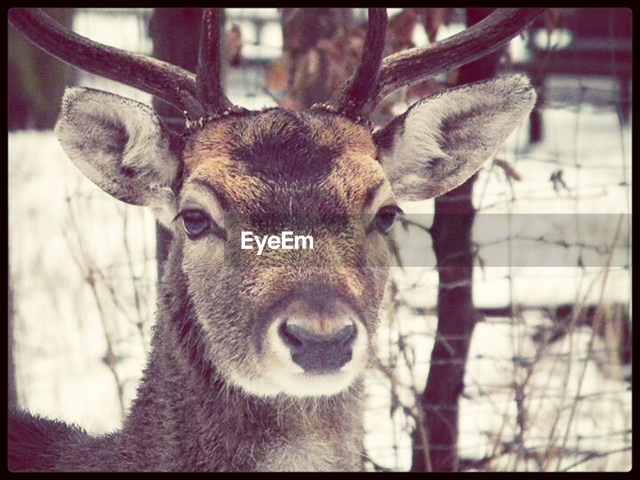 animal themes, looking at camera, one animal, portrait, deer, focus on foreground, animals in the wild, day, mammal, no people, close-up, outdoors, nature