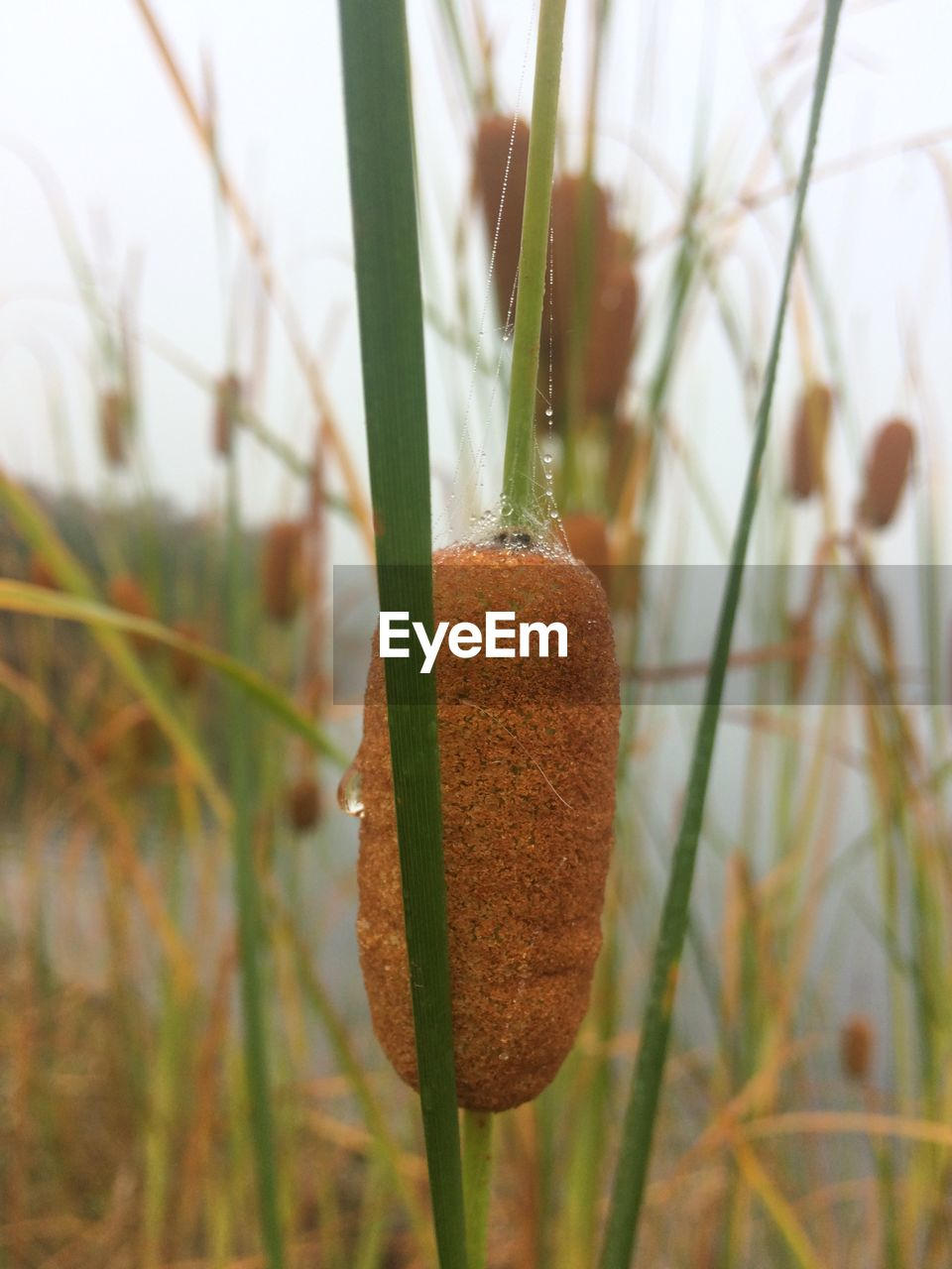 plant, growth, focus on foreground, close-up, no people, nature, beauty in nature, day, grass, land, tranquility, selective focus, green color, field, outdoors, brown, cattail, plant stem, food, freshness, blade of grass