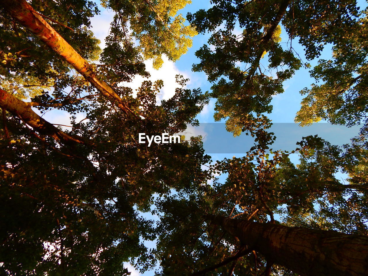 tree, low angle view, nature, forest, growth, tranquility, beauty in nature, day, no people, branch, tree trunk, outdoors, scenics, sky
