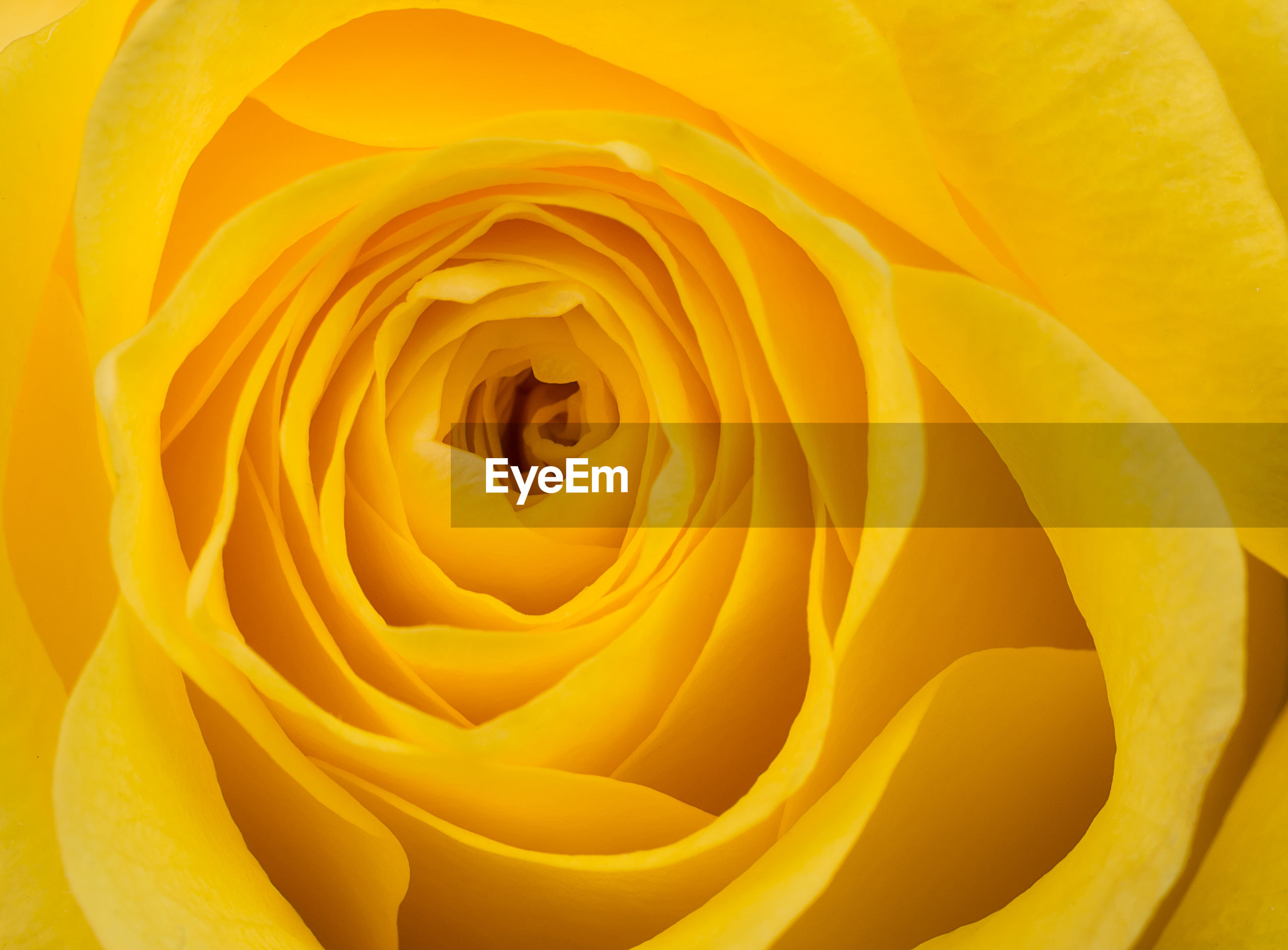 FULL FRAME SHOT OF YELLOW ROSE IN ORANGE PLANT