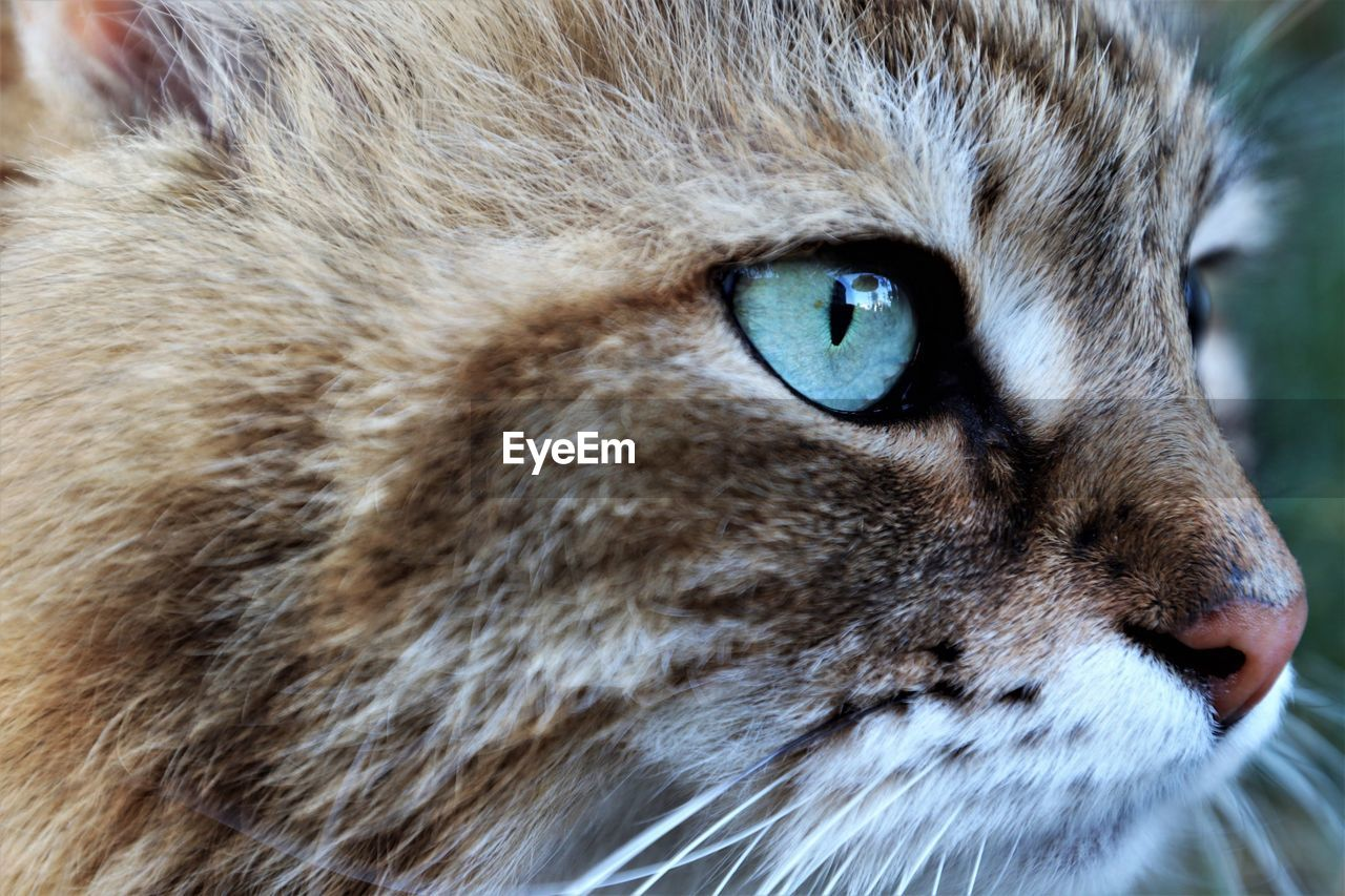 one animal, animal themes, mammal, animal, pets, domestic, animal body part, cat, feline, close-up, domestic animals, domestic cat, whisker, eye, vertebrate, animal head, no people, portrait, looking at camera, focus on foreground, animal eye, animal mouth, animal nose