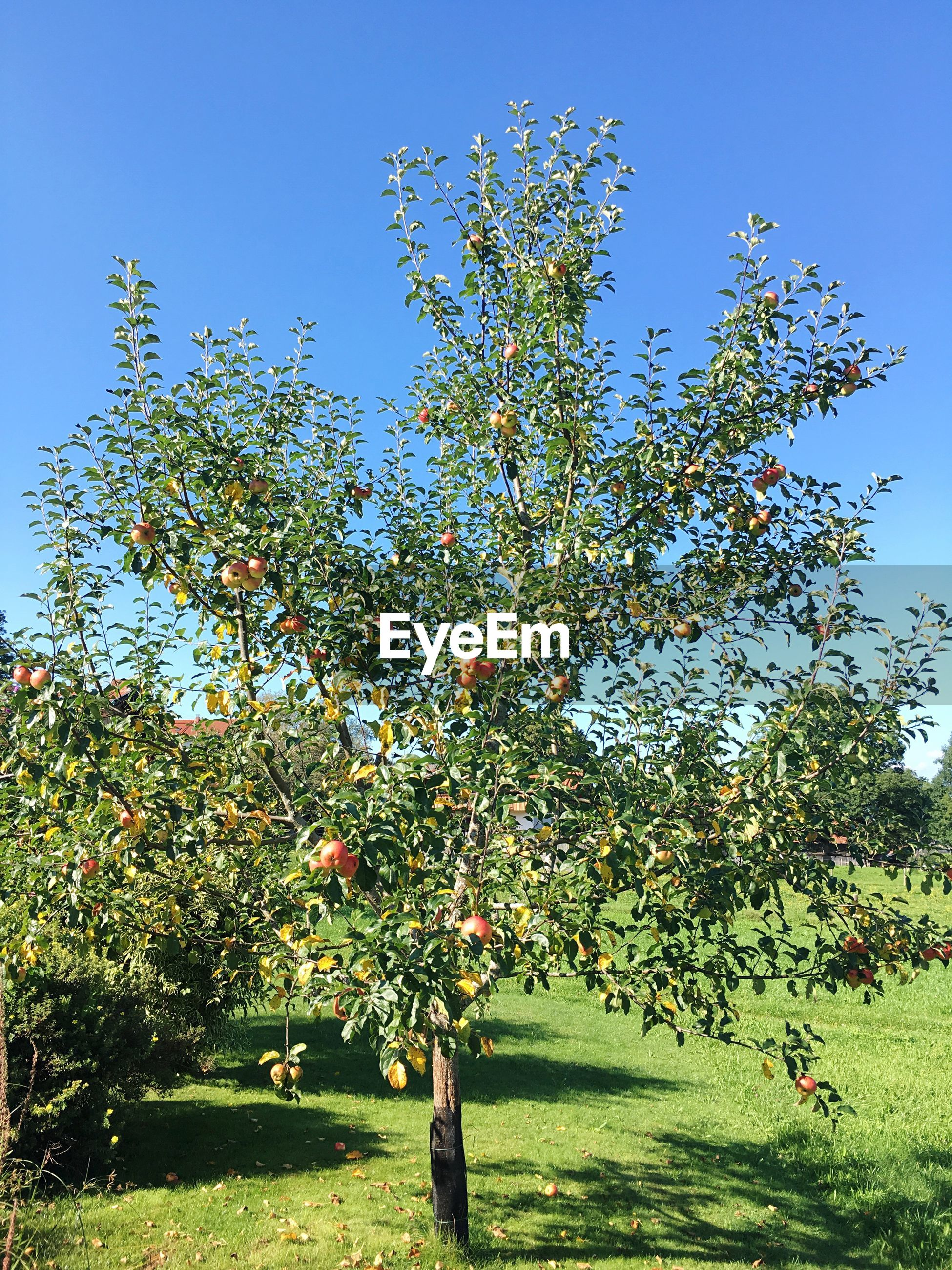 Apple tree growing on field against clear blue sky on sunny day