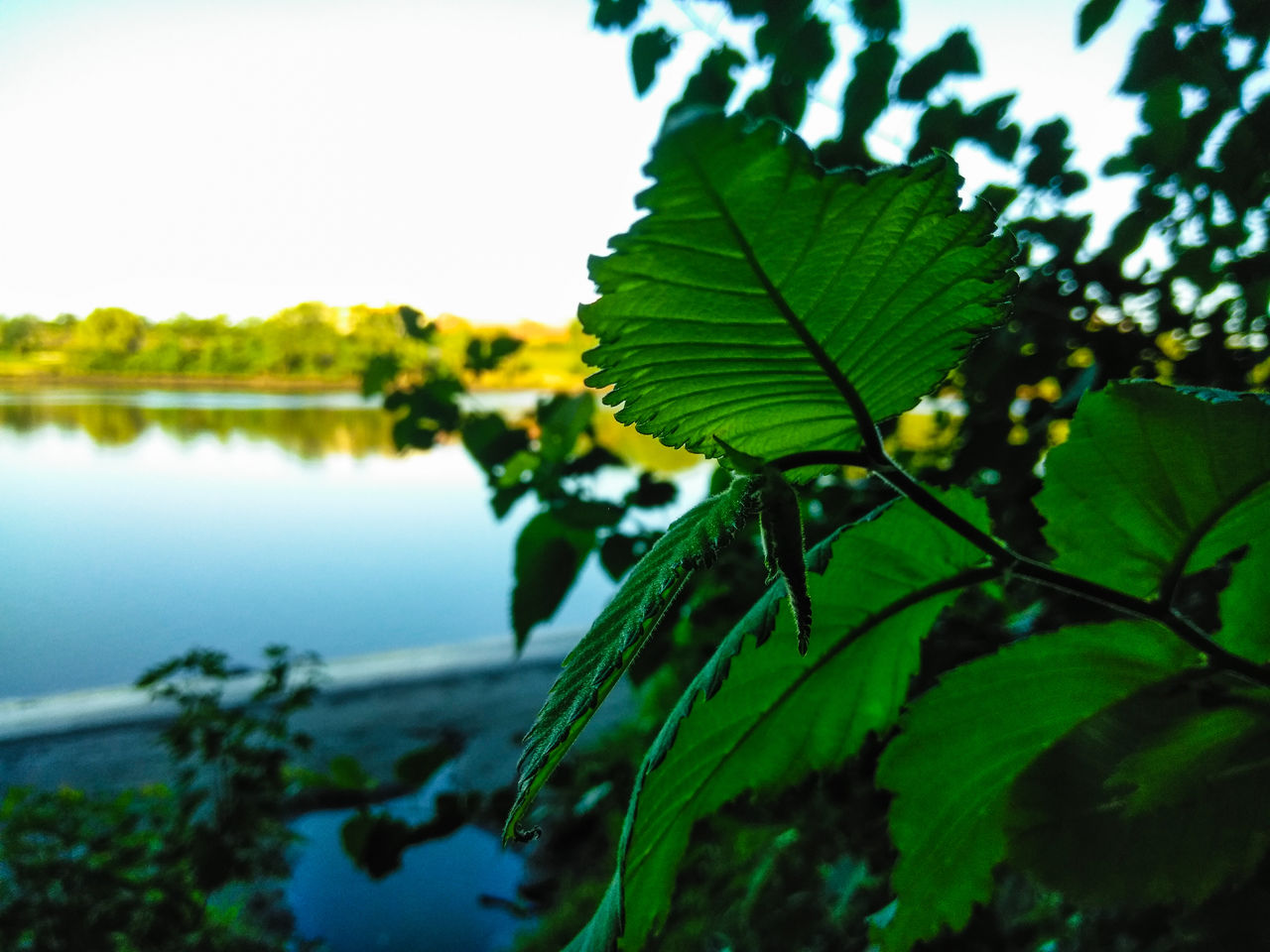 plant, plant part, leaf, nature, growth, sky, beauty in nature, water, focus on foreground, close-up, no people, green color, day, tree, tranquility, reflection, outdoors, lake, clear sky, leaves