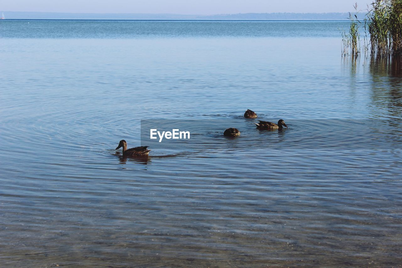 water, group of animals, animal themes, animal, animal wildlife, vertebrate, animals in the wild, swimming, bird, lake, waterfront, day, no people, nature, beauty in nature, duck, poultry, water bird, young animal, outdoors, floating on water, animal family