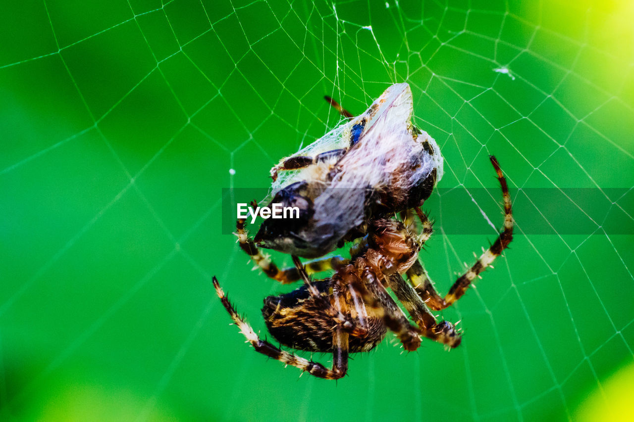 Macro Shot Of Spider With Cocoon On Web