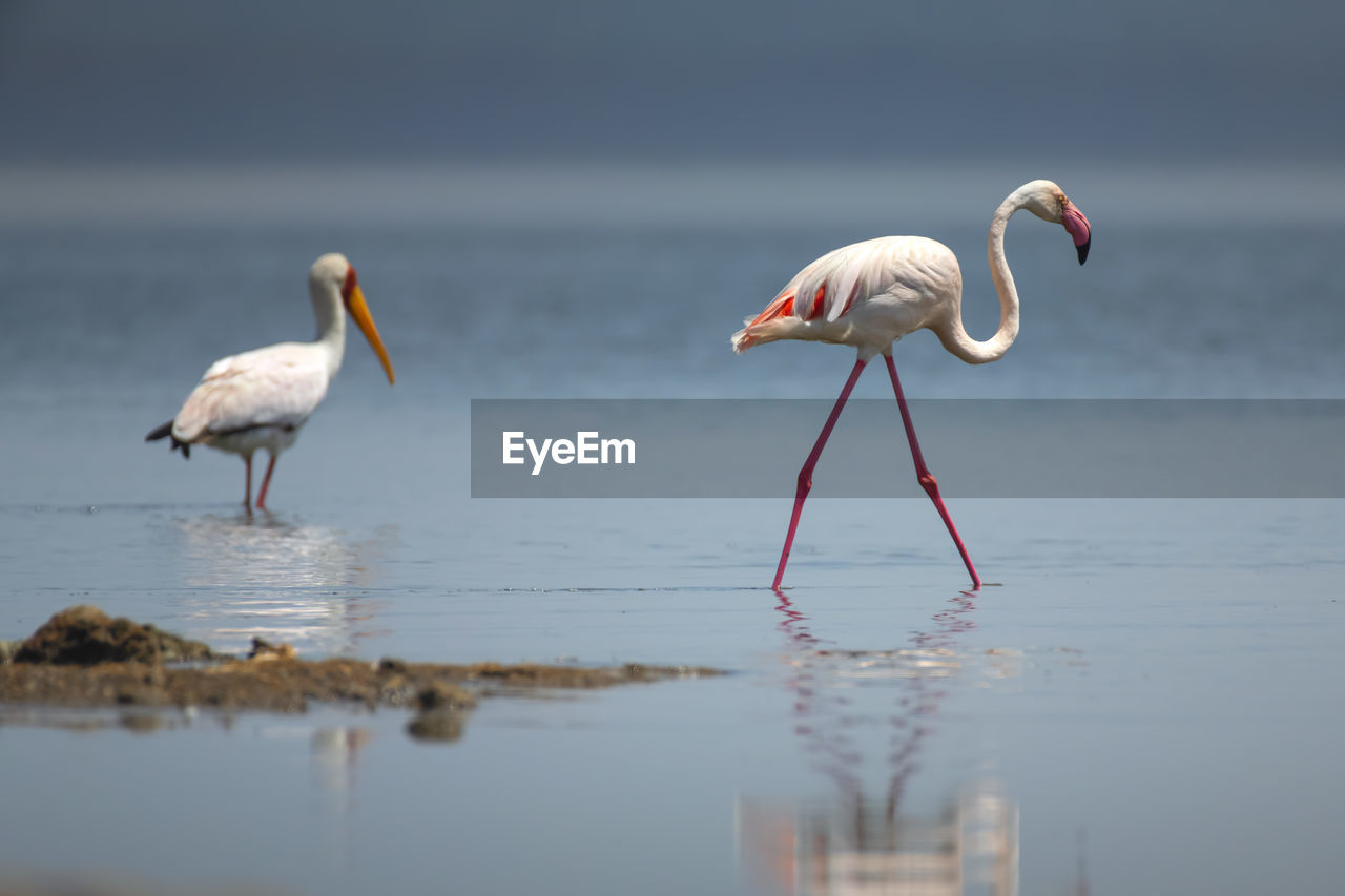 animal themes, animal, water, bird, animals in the wild, animal wildlife, vertebrate, group of animals, two animals, nature, no people, day, reflection, beauty in nature, flamingo, white color, focus on foreground, land, outdoors