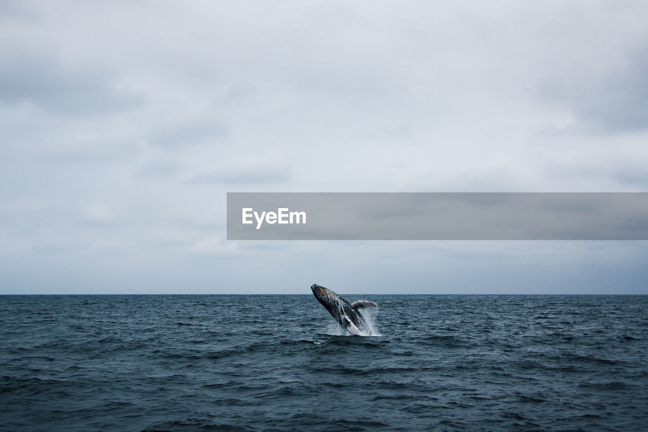 sea, animal, one animal, animal themes, water, sky, aquatic mammal, animals in the wild, animal wildlife, vertebrate, mammal, cloud - sky, whale, horizon over water, underwater, horizon, waterfront, sea life, no people, marine, outdoors, humpback whale, tail fin