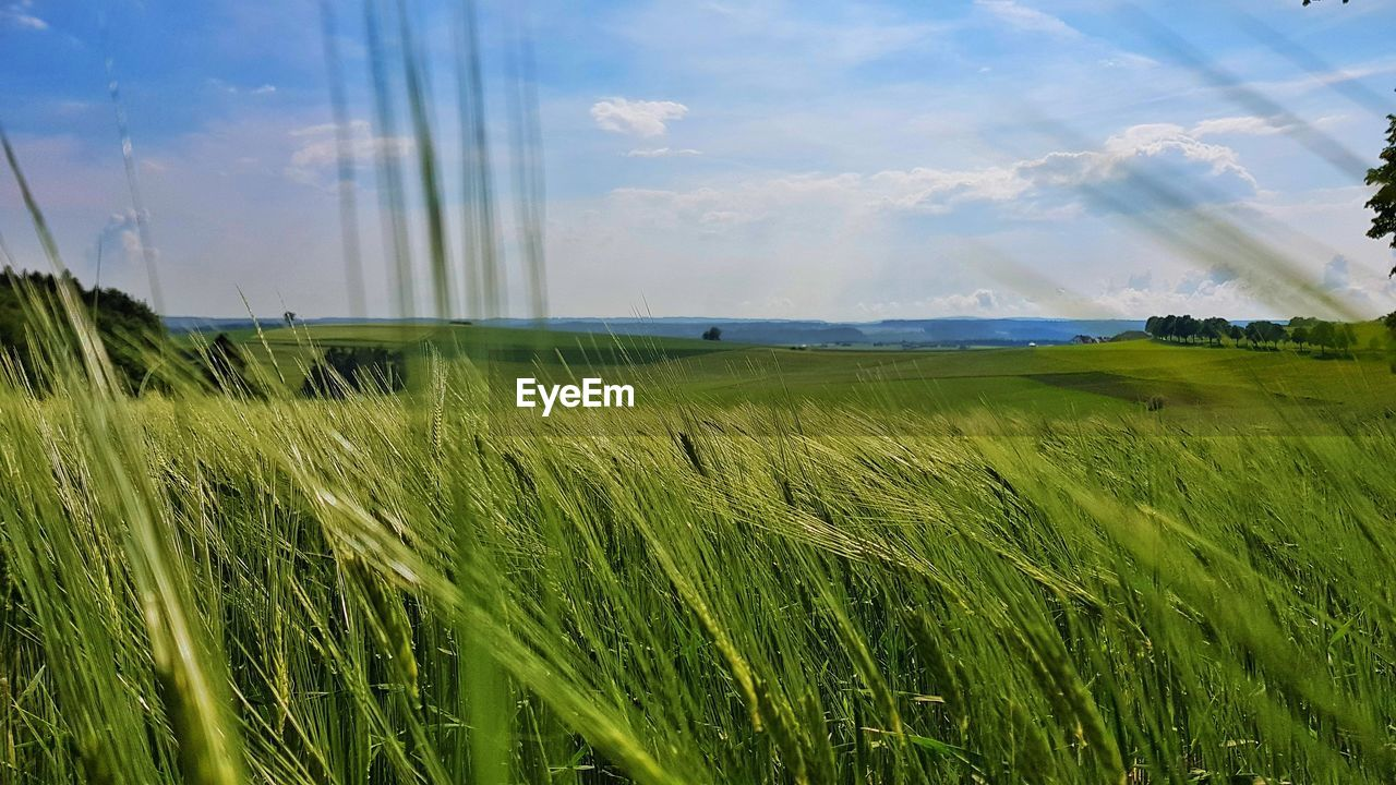 field, grass, growth, nature, green color, sky, tranquil scene, beauty in nature, day, no people, agriculture, tranquility, landscape, scenics, outdoors, rural scene, plant, cereal plant, wheat, close-up, freshness