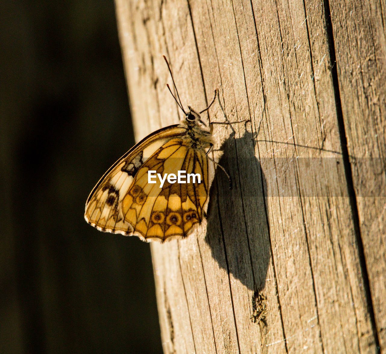 animal themes, animal wildlife, invertebrate, insect, animals in the wild, animal, one animal, animal wing, butterfly - insect, focus on foreground, close-up, wood - material, beauty in nature, no people, day, nature, outdoors, tree, flower, perching, butterfly, wooden post