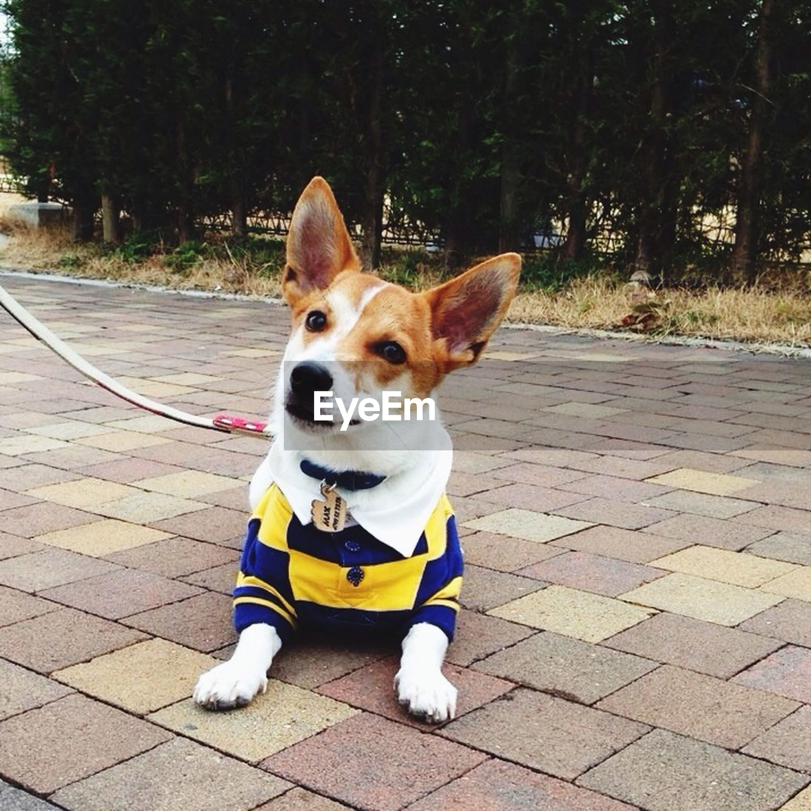 pets, dog, domestic animals, one animal, animal themes, mammal, portrait, looking at camera, full length, street, pet leash, sitting, pet collar, standing, sidewalk, front view, footpath, white color, outdoors, day