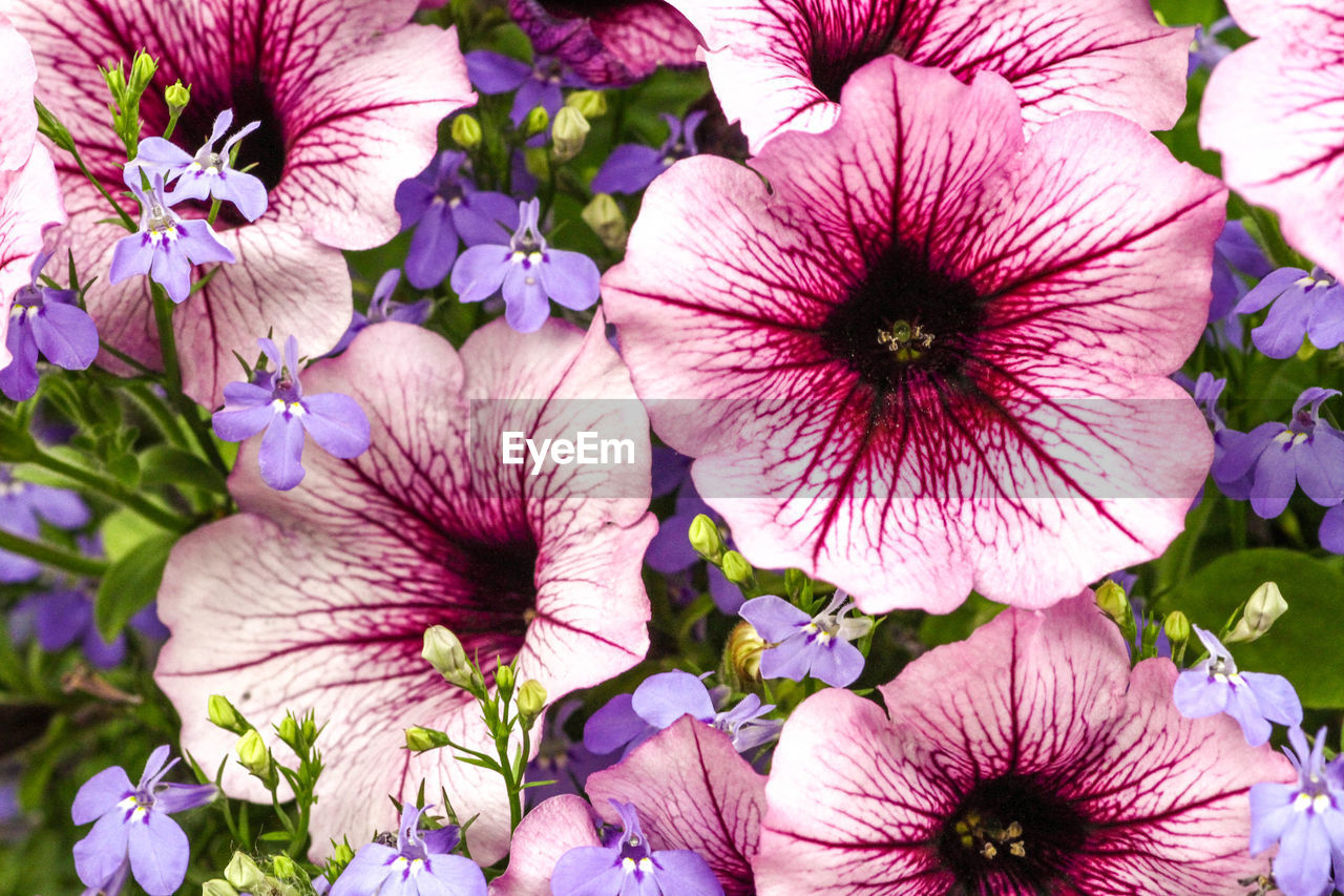 flower, petal, fragility, beauty in nature, nature, growth, freshness, flower head, plant, outdoors, no people, day, petunia, blooming, close-up