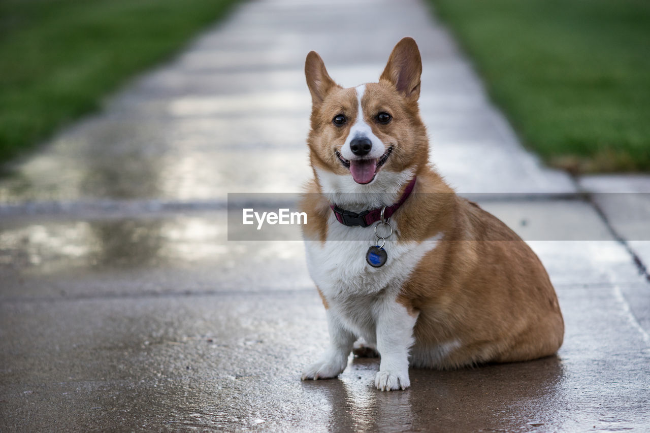 one animal, pets, domestic, domestic animals, mammal, dog, canine, vertebrate, portrait, looking at camera, focus on foreground, no people, sitting, day, pembroke welsh corgi, looking, outdoors, mouth open