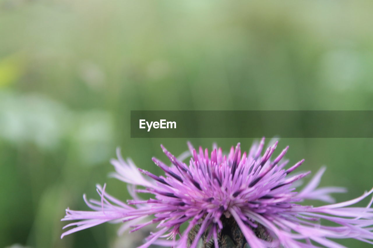 flower, nature, beauty in nature, fragility, day, freshness, outdoors, close-up, purple, no people, petal, growth, plant, flower head
