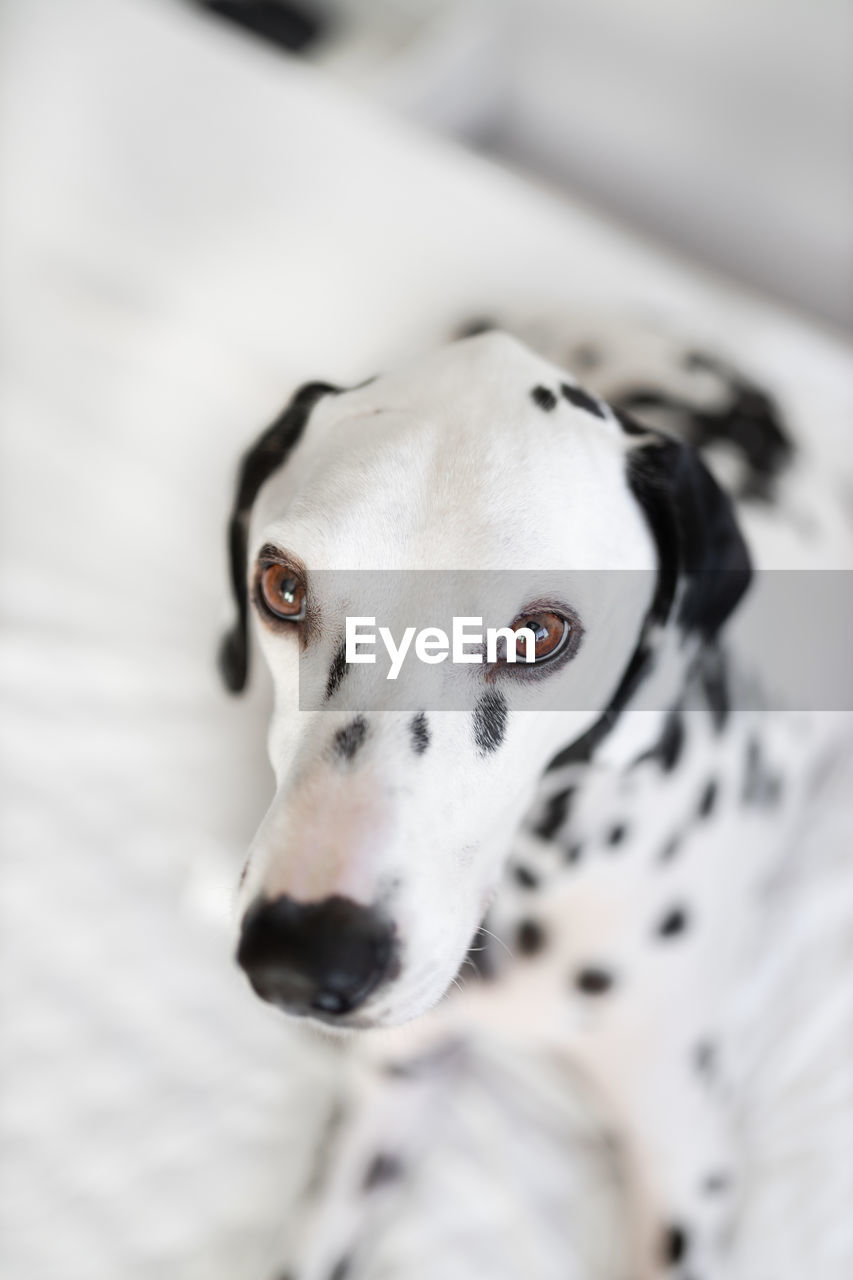 dog, canine, domestic, pets, one animal, domestic animals, animal themes, mammal, animal, dalmatian dog, vertebrate, no people, white color, portrait, indoors, looking at camera, close-up, spotted, animal body part, animal head