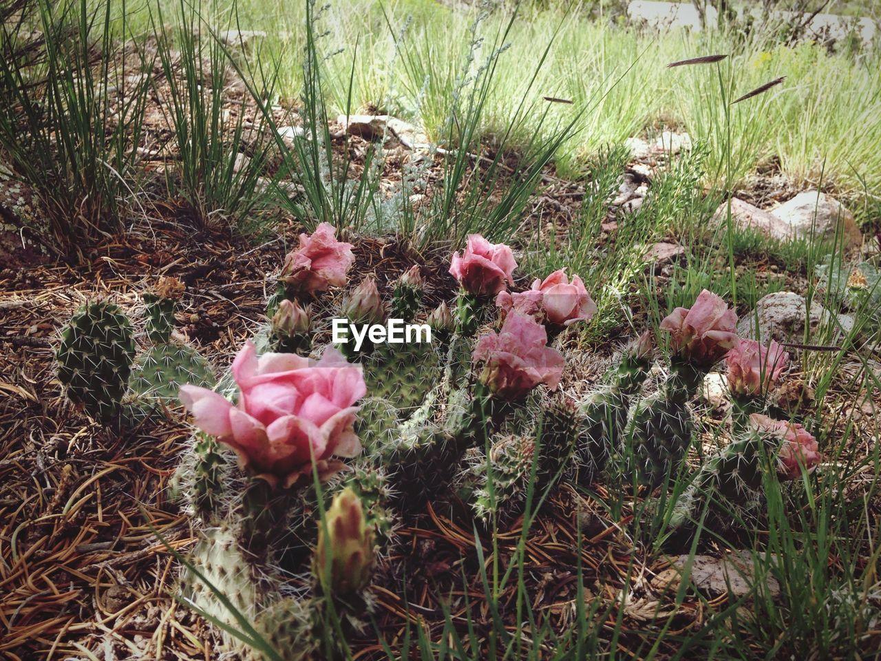 Pink cactus flowers blooming on field