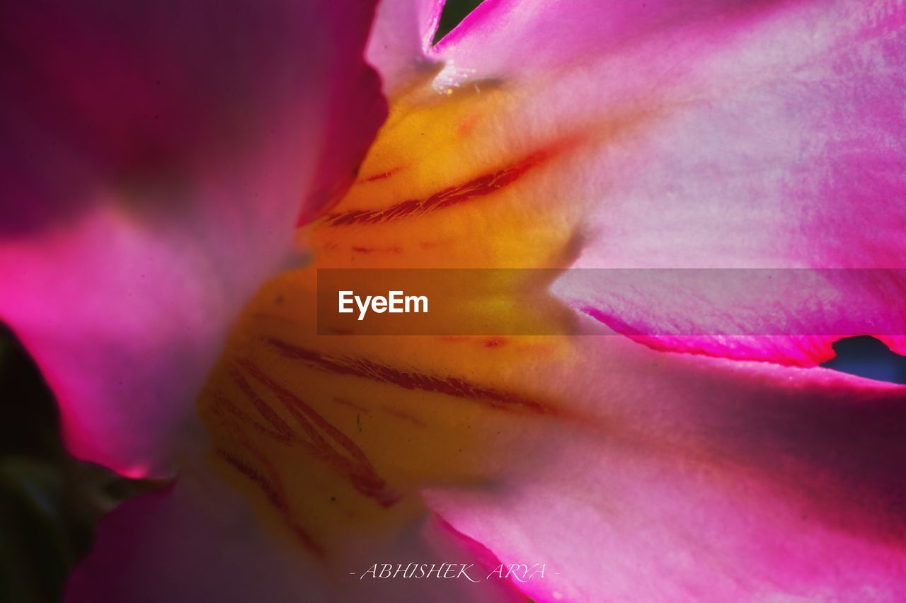 flower, petal, beauty in nature, fragility, flower head, nature, pink color, freshness, close-up, growth, selective focus, no people, stamen, backgrounds, full frame, springtime, blooming, outdoors, day