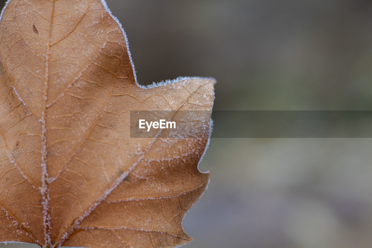 plant part, leaf, close-up, leaf vein, focus on foreground, autumn, vulnerability, fragility, no people, nature, plant, day, change, dry, outdoors, natural pattern, beauty in nature, brown, orange color, selective focus, leaves, dried, fall, natural condition