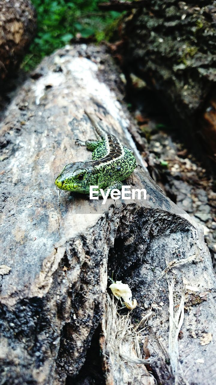 High Angle View Of Lizard On Fallen Tree