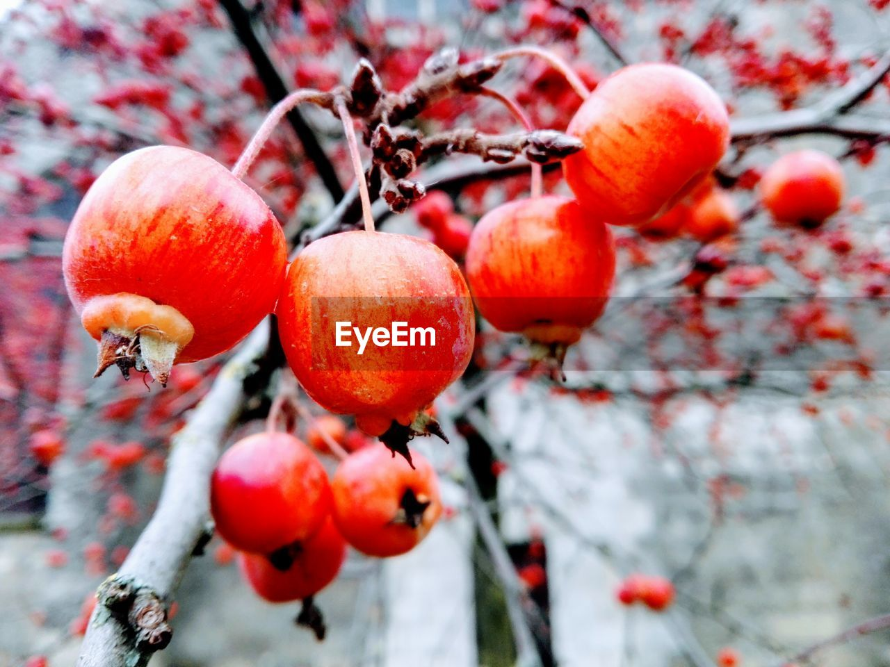 fruit, food and drink, tree, red, growth, nature, outdoors, growing, focus on foreground, beauty in nature, freshness, close-up, rose hip, no people, day, rowanberry, food, winter, branch, healthy eating, snow