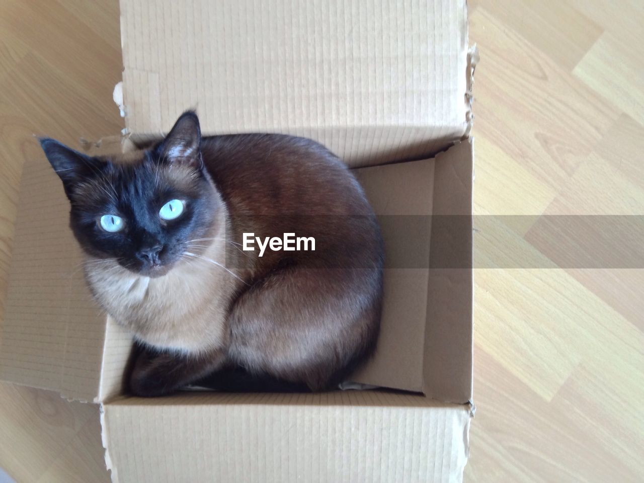 domestic cat, pets, domestic animals, feline, one animal, animal themes, indoors, mammal, cardboard box, portrait, whisker, looking at camera, no people, sitting, siamese cat, day, close-up