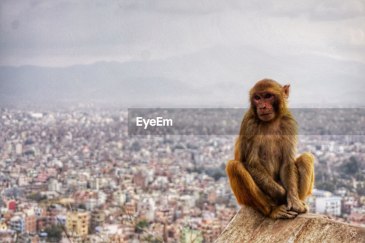 Front View Of Monkey Sitting On Retaining Wall Against Cityscape