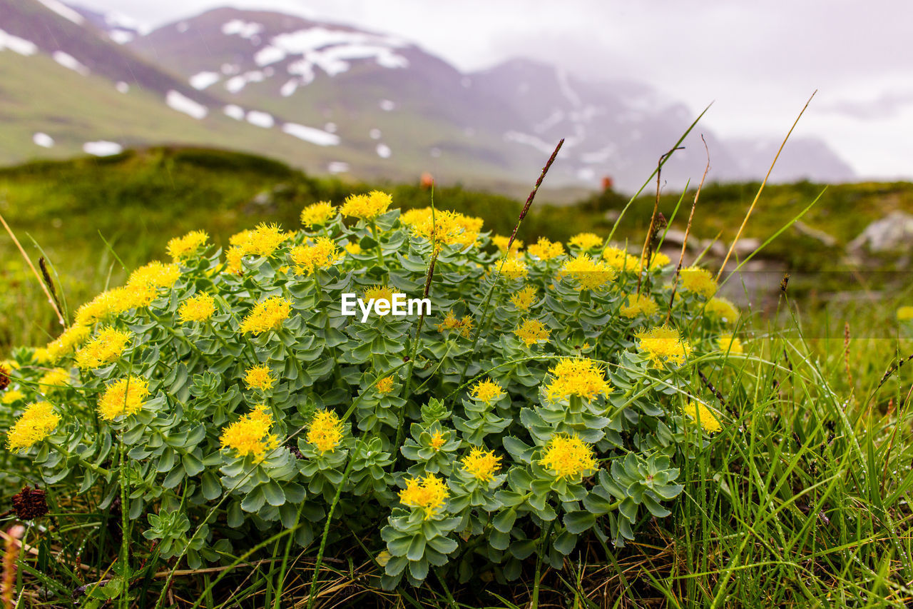 plant, flower, growth, beauty in nature, flowering plant, field, yellow, fragility, freshness, vulnerability, nature, land, day, close-up, green color, no people, tranquility, landscape, environment, mountain, flower head, outdoors, springtime